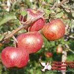 Джонагоред Морренс(Бельгия) — Саженцы яблони.