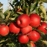 Гала Маст(Н.Зеландия) — Саженцы яблони.