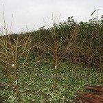 Редхейвен — саженцы персиков