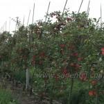 Гала — Саженцы яблони.