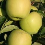 Голден Делишес Рейндерс — Саженцы яблони