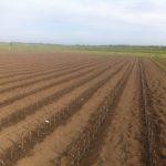 Первое поле питомника плодовых саженцев семьи Маценко.