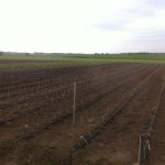 Первое поле питомника саженцев плодовых деревьев семьи Маценко