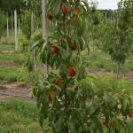 Саженцы персиков — Sanrais