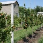Саженцы персиков — сорт Харроу Даймонд