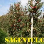 Элизе (Голландия) — саженцы яблони