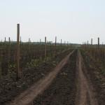 Сад посажен саженцами яблони зимней прививкой на постоянное место