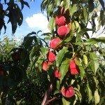 Саженцы персиков Юлия 2014