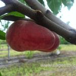Саженцы персика — Сорт UFO — 4