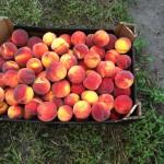 Саженцы персиков — Vergil T-4