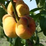 Саженцы персиков — Sweet Bagel (США)