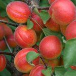 Саженцы Абрикоса — Big Red (франция)