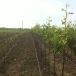 Начало роста саженцев груши типа Книп-Баум — Май 2015г. поле№ 2, поле №3