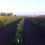 Начало роста саженцев черешни — Май 2015г. поле 1