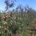 Сорта и саженцы яблонь