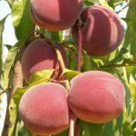 Сорта и саженцы персика — Elegant Lady ( США )