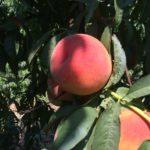 Персик сорта Temira (Канада)